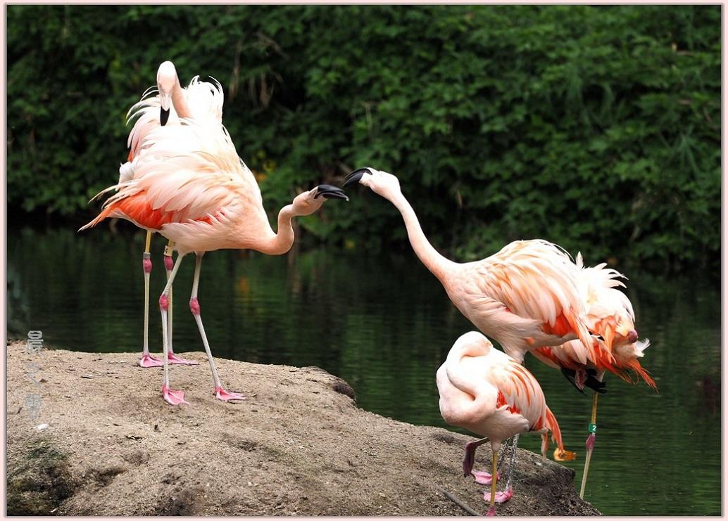 火烈鸟——Flamingo_图1-1