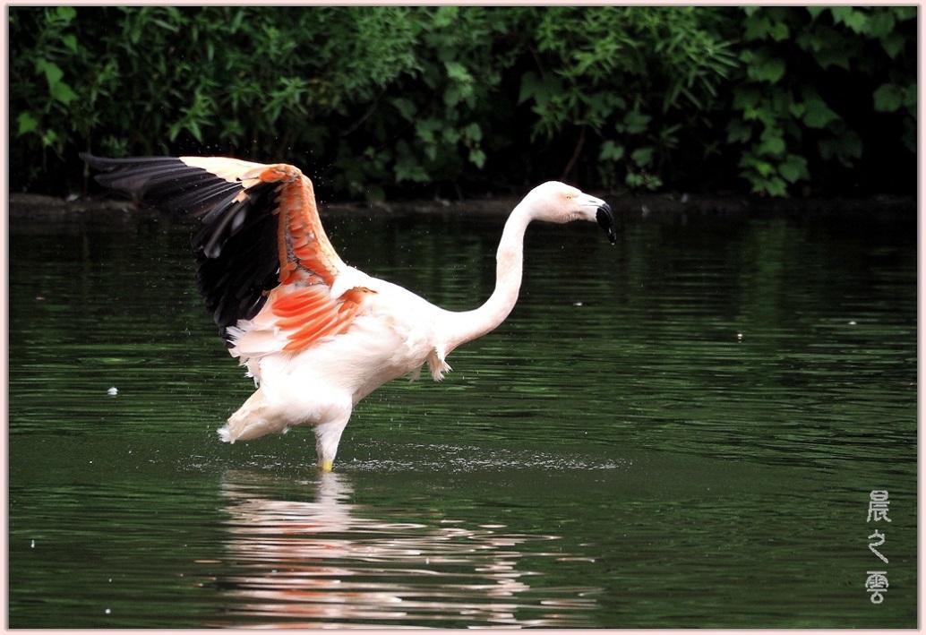 火烈鸟——Flamingo_图1-2