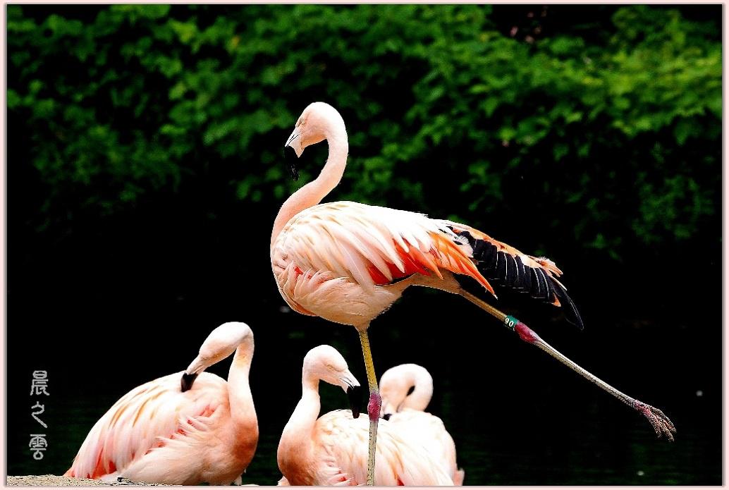 火烈鸟——Flamingo_图1-3