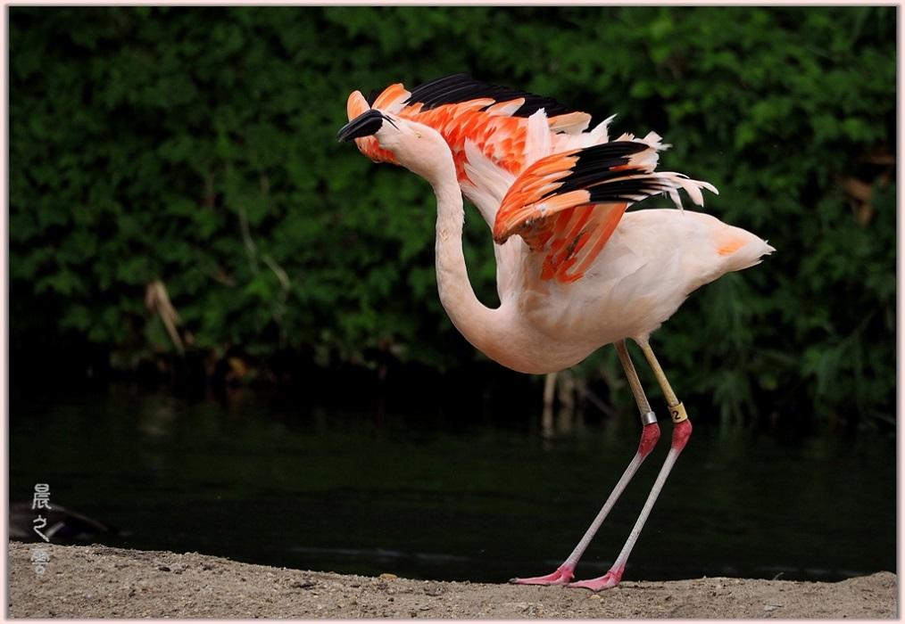 火烈鸟——Flamingo_图1-4