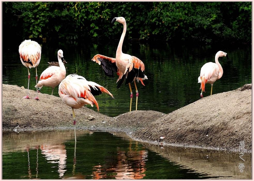 火烈鸟——Flamingo_图1-5