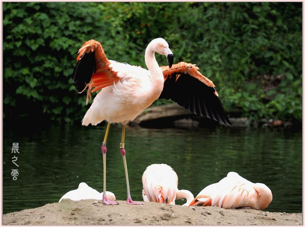 火烈鸟——Flamingo_图1-6