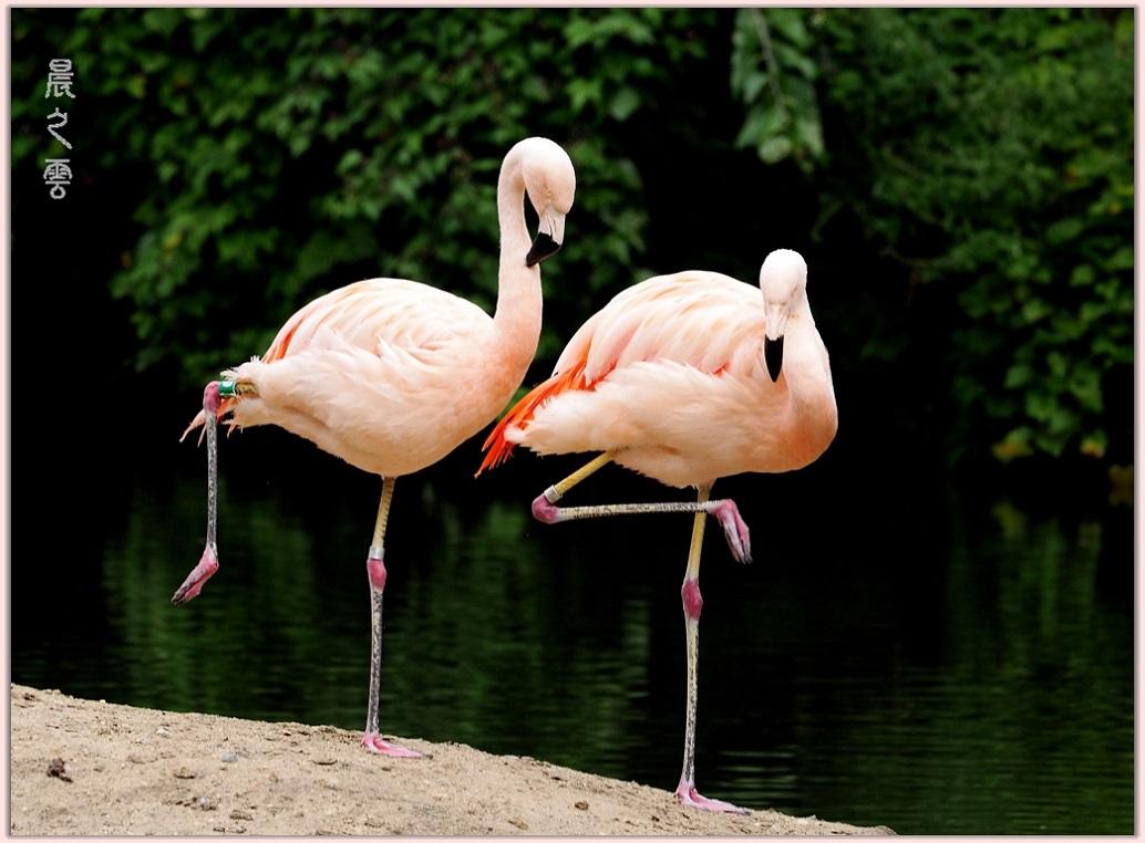 火烈鸟——Flamingo_图1-7