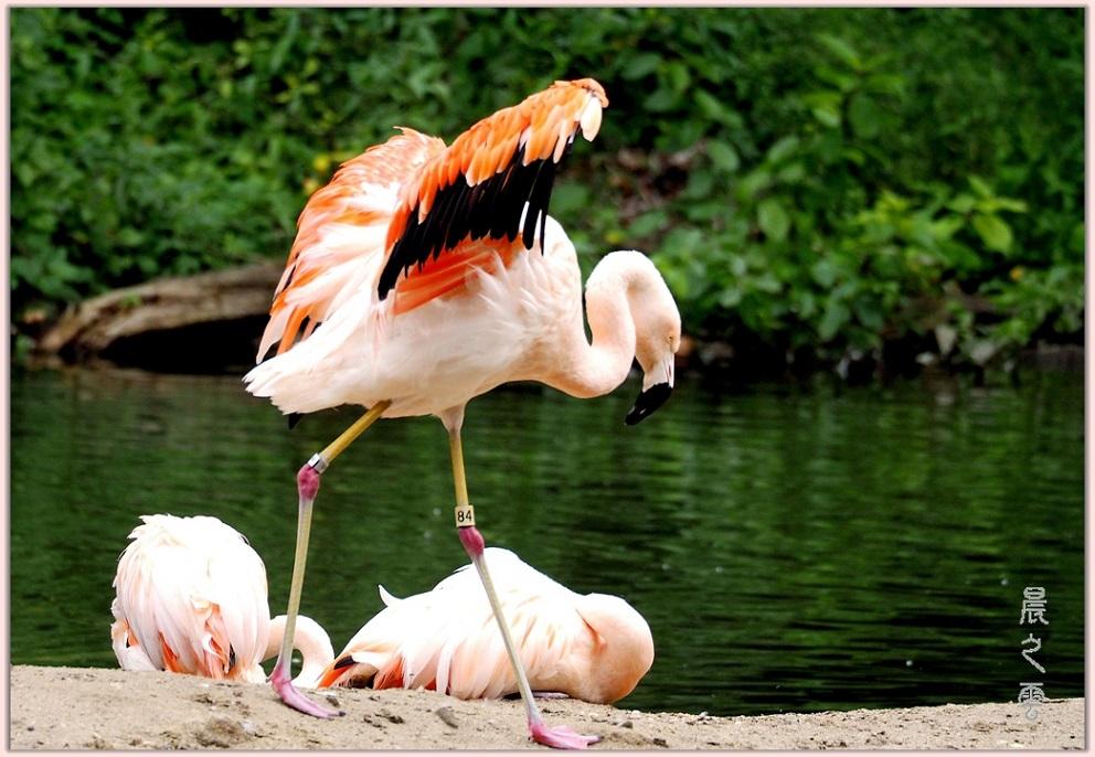 火烈鸟——Flamingo_图1-8