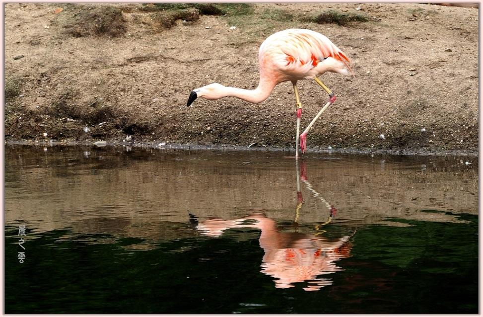 火烈鸟——Flamingo_图1-9