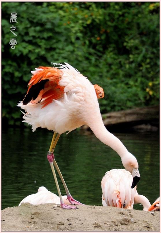 火烈鸟——Flamingo_图1-11