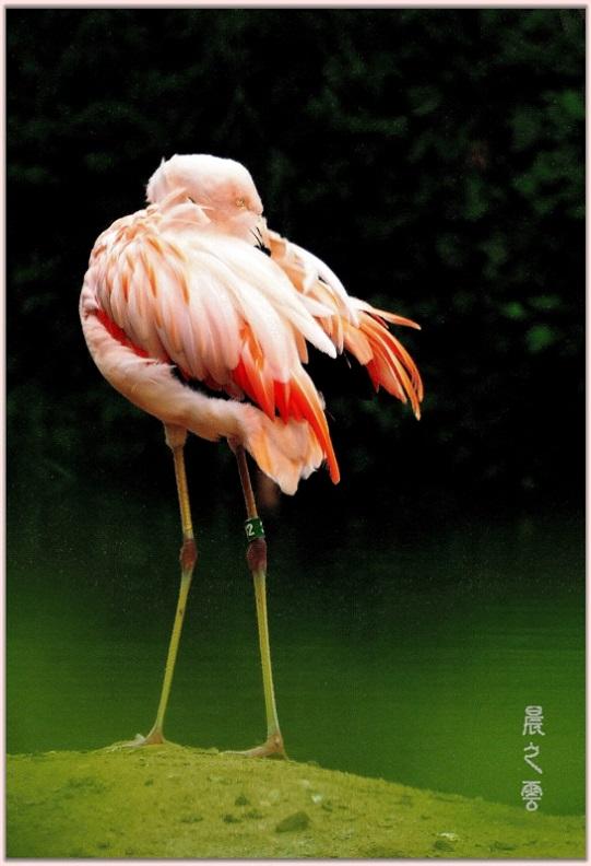 火烈鸟——Flamingo_图1-12