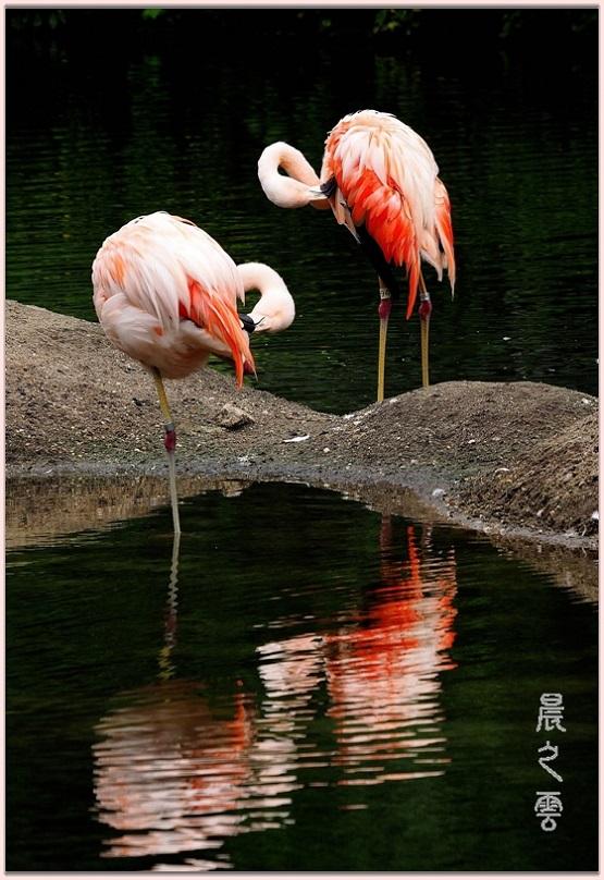 火烈鸟——Flamingo_图1-13