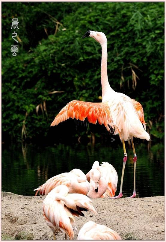 火烈鸟——Flamingo_图1-14