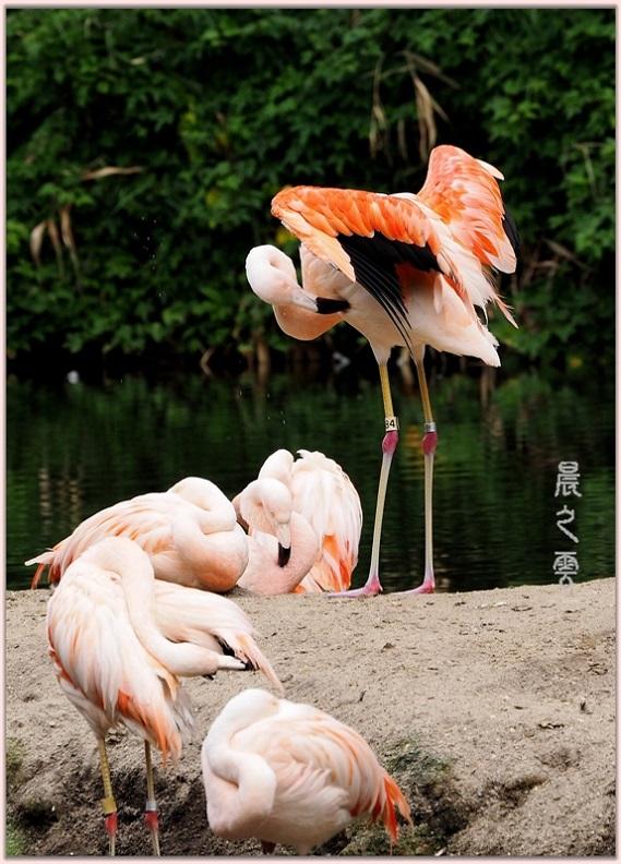 火烈鸟——Flamingo_图1-15
