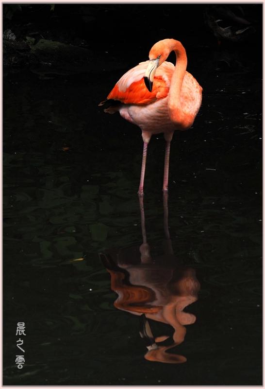 火烈鸟——Flamingo_图1-16