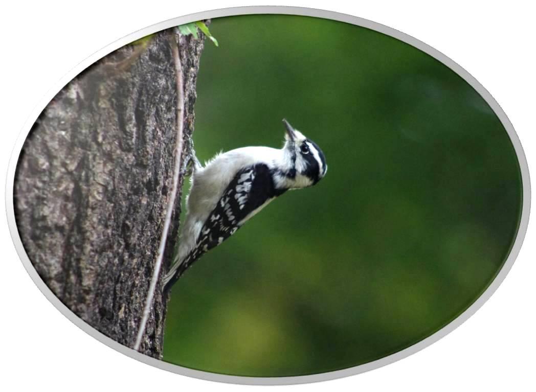 绒啄木鸟_图1-3