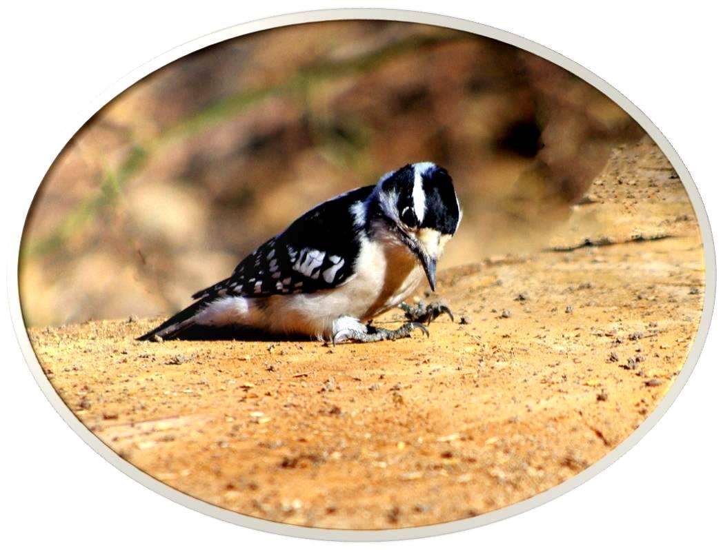 绒啄木鸟_图1-4