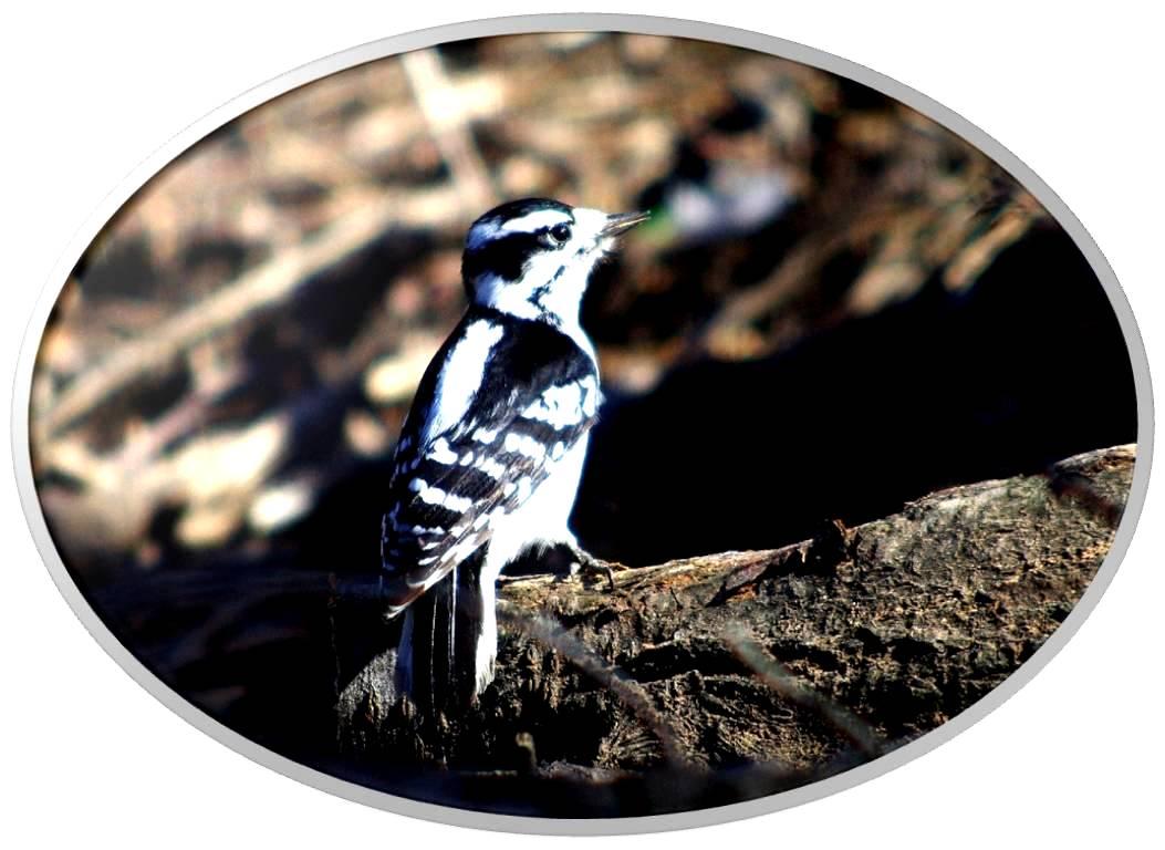 绒啄木鸟_图1-5
