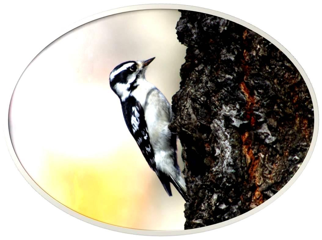 绒啄木鸟_图1-7