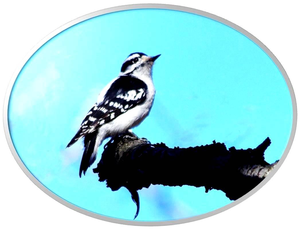 绒啄木鸟_图1-8