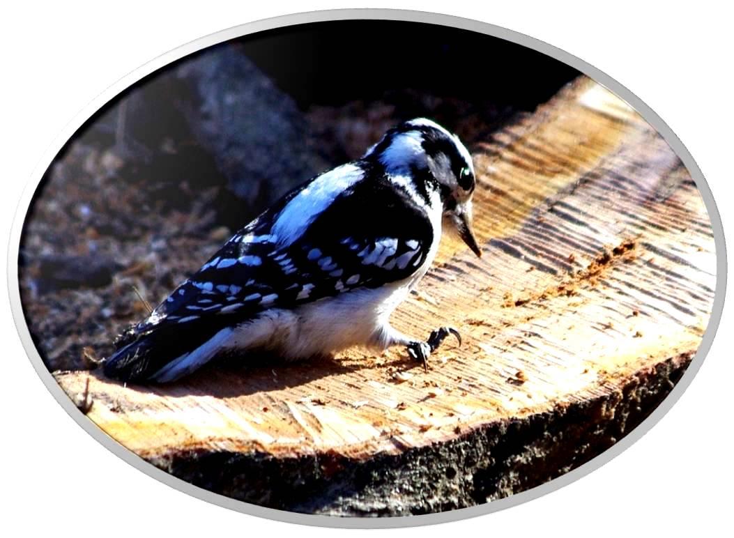 绒啄木鸟_图1-9