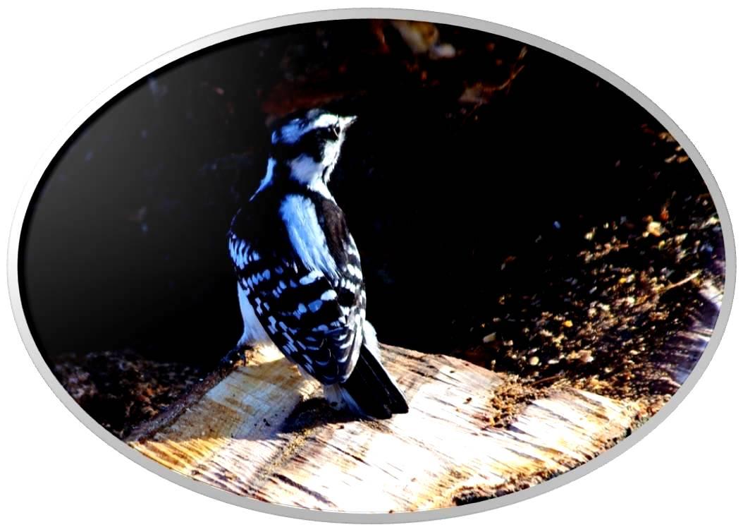 绒啄木鸟_图1-10