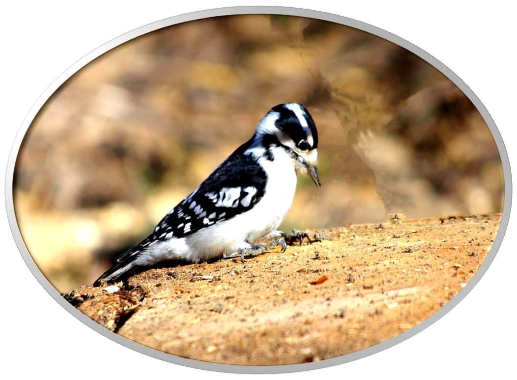 绒啄木鸟_图1-11