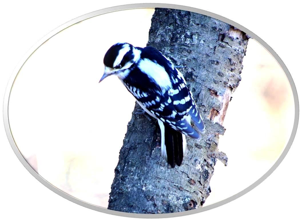 绒啄木鸟_图1-12