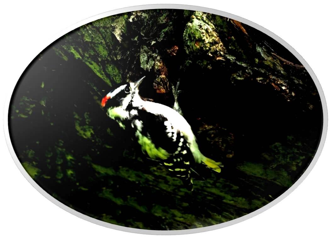 绒啄木鸟_图1-13