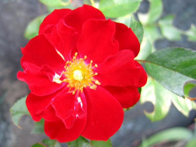 玫瑰与观赏辣椒_图1-1