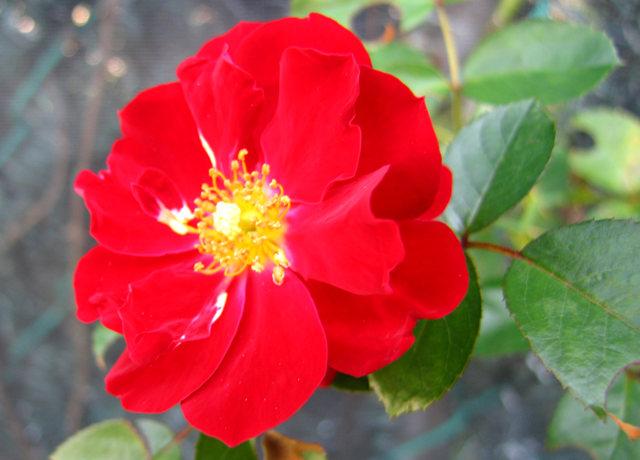玫瑰与观赏辣椒_图1-2