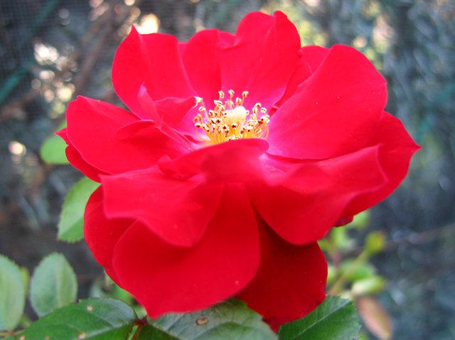 玫瑰与观赏辣椒_图1-3