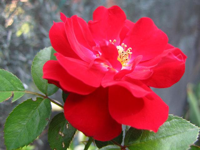 玫瑰与观赏辣椒_图1-4