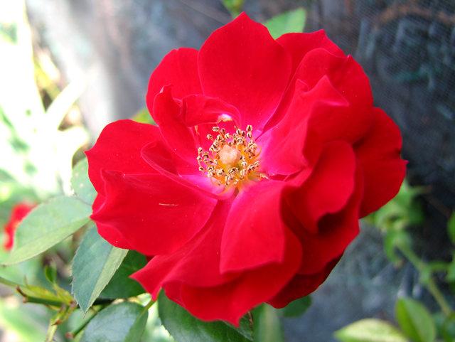 玫瑰与观赏辣椒_图1-5