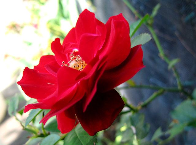 玫瑰与观赏辣椒_图1-6