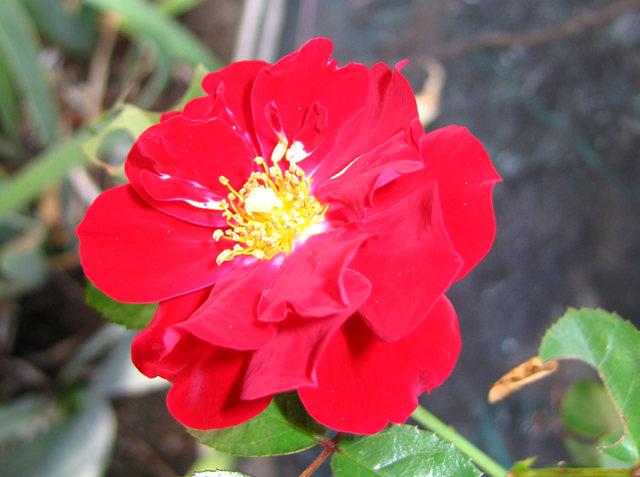 玫瑰与观赏辣椒_图1-7