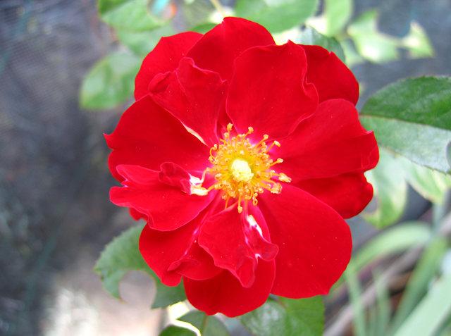玫瑰与观赏辣椒_图1-8
