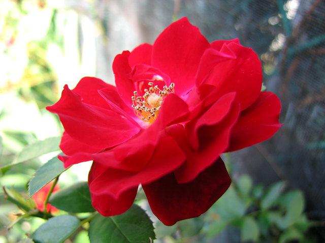 玫瑰与观赏辣椒_图1-9