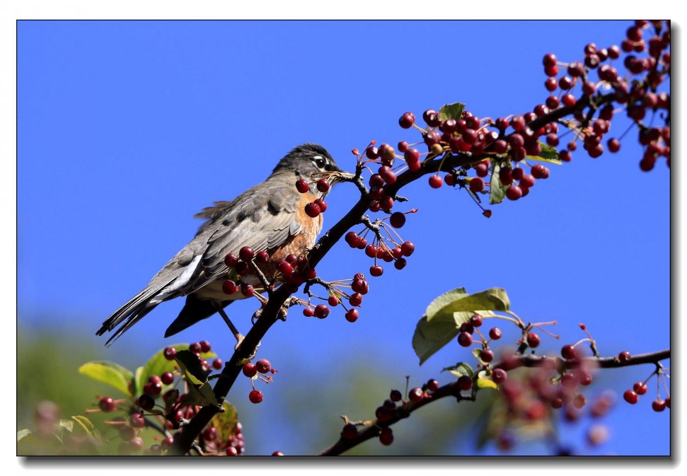 果熟鸟来图-知更鸟_图1-4