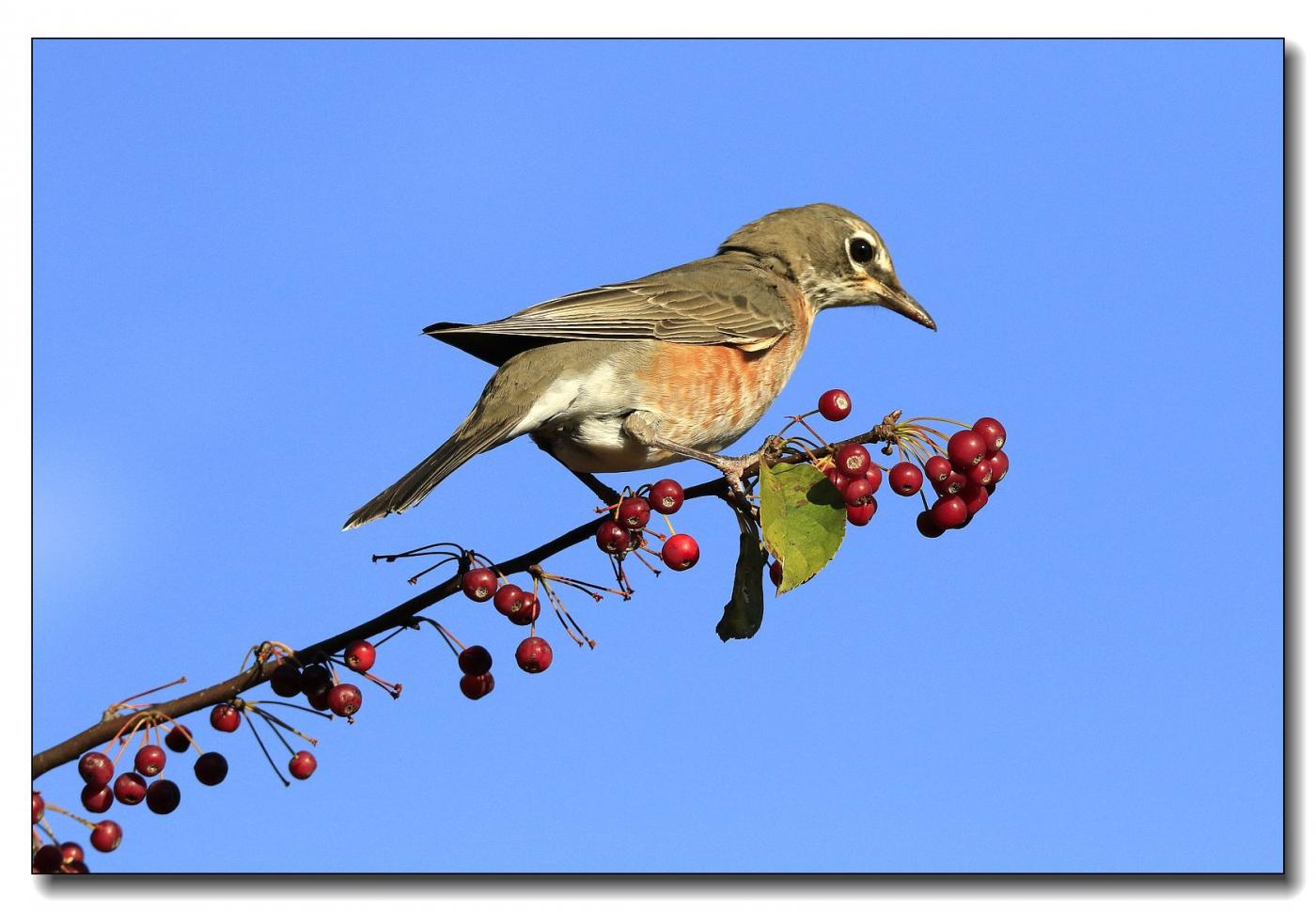 果熟鸟来图-知更鸟_图1-8