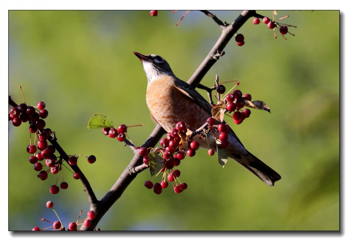 果熟鸟来图-知更鸟_图1-11