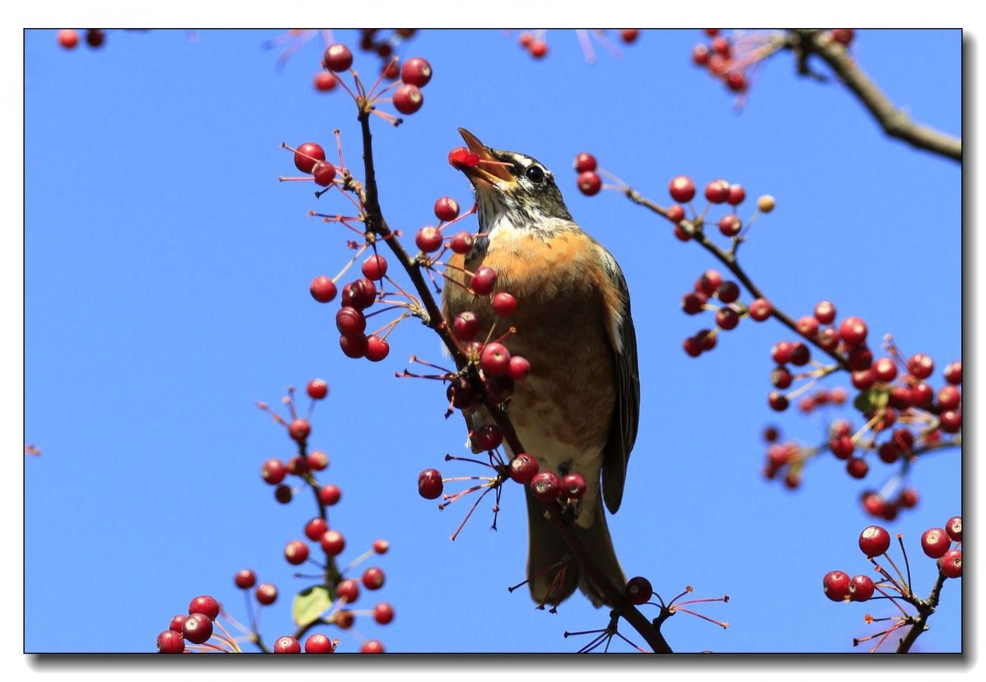 果熟鸟来图-知更鸟_图1-12