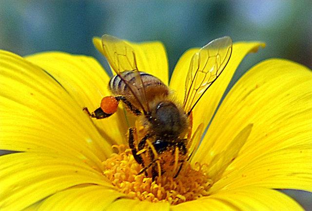 黄菊.蜜蜂_图1-1