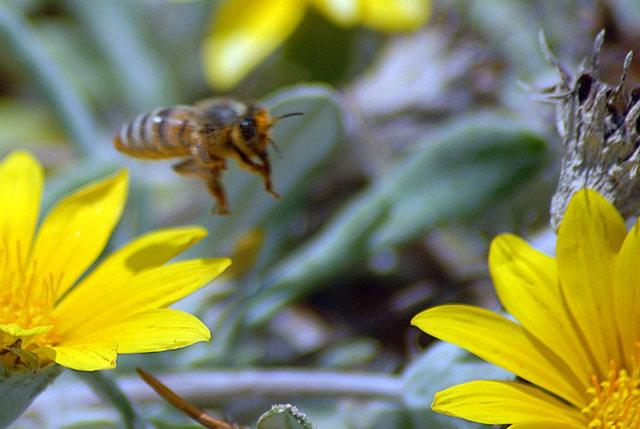 黄菊.蜜蜂_图1-2
