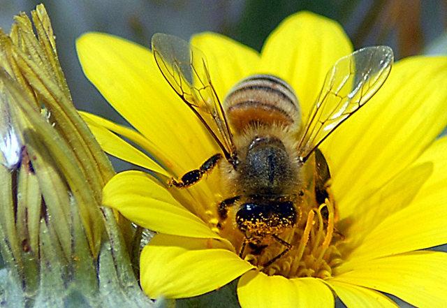 黄菊.蜜蜂_图1-3