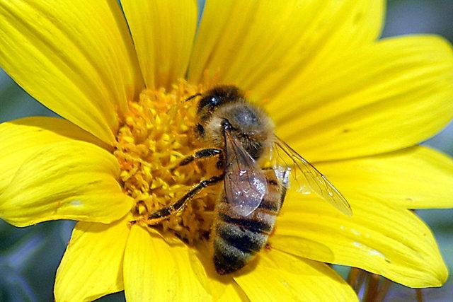 黄菊.蜜蜂_图1-4