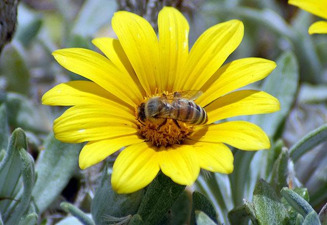 黄菊.蜜蜂_图1-5