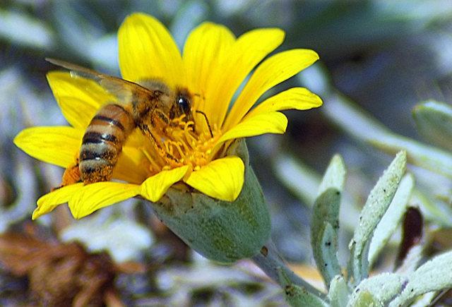 黄菊.蜜蜂_图1-6