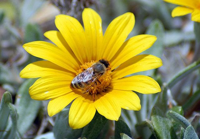 黄菊.蜜蜂_图1-7