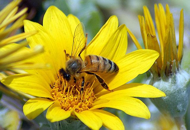 黄菊.蜜蜂_图1-8