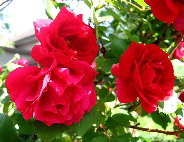 银湖拍玫瑰_图1-1