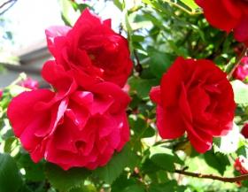 银湖拍玫瑰