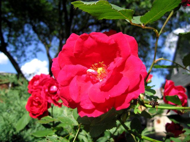 银湖拍玫瑰_图1-2