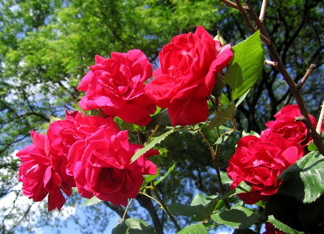 银湖拍玫瑰_图1-6